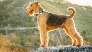 Собака породы Эрдельтерьер фото 9