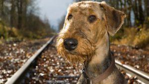 Собака породы Эрдельтерьер фото 6