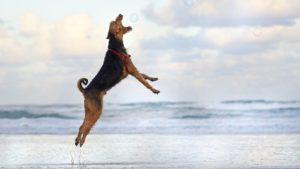 Собака породы Эрдельтерьер фото 4