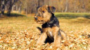 Собака породы Эрдельтерьер фото 8