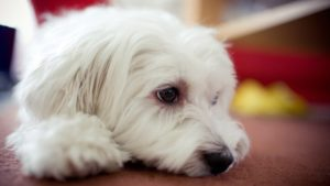 Собака породы Мальтезе фото 1