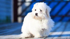 Собака породы Мальтезе фото 9