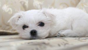 Собака породы Мальтезе фото 8