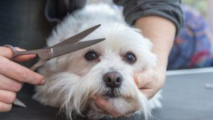 Собака породы Мальтезе фото 3