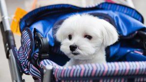 Собака породы Мальтезе фото 6
