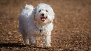 Собака породы Мальтезе фото 4