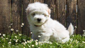 Собака породы Мальтезе фото 2