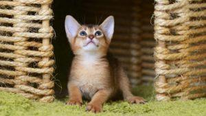 Абиссинская кошка фото 3