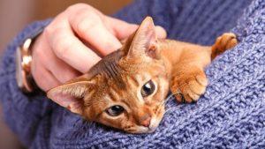 Абиссинская кошка фото 1