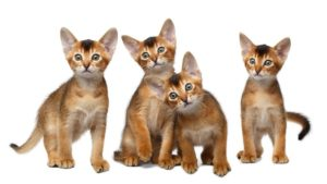 Абиссинская кошка фото 5