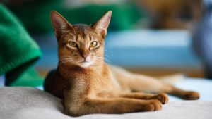 Абиссинская кошка фото 7