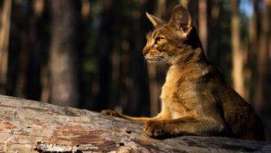 Абиссинская кошка фото 6