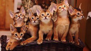 Абиссинская кошка фото 2