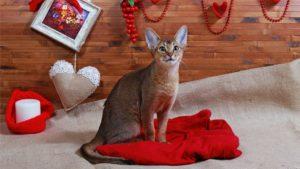 Абиссинская кошка фото 9
