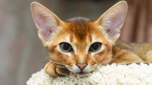Абиссинская кошка фото 8