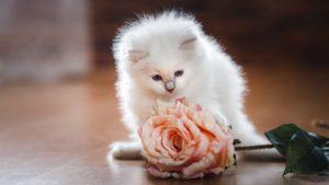 Рэгдолл кошка фото 3