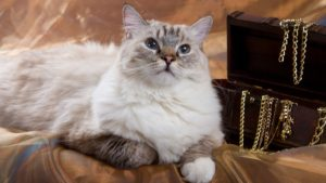 Рэгдолл кошка фото 4