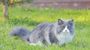 Рэгдолл кошка фото 1