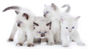 Рэгдолл кошка фото 5