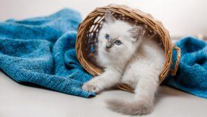 Рэгдолл кошка фото 6