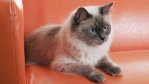 Рэгдолл кошка фото 7