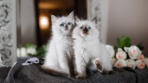 Рэгдолл кошка фото 9