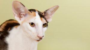Ориентальная кошка фото 7