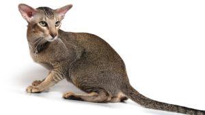 Ориентальная кошка фото 8