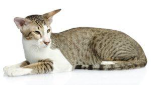 Ориентальная кошка фото 4