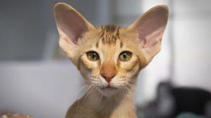 Ориентальная кошка фото 9