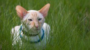Ориентальная кошка фото 1