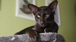 Ориентальная кошка фото 3