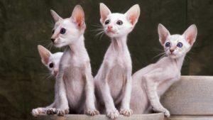 Ориентальная кошка фото 2