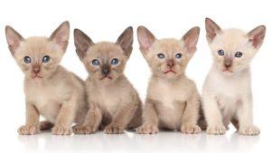 Ориентальная кошка фото 5