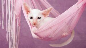 Ориентальная кошка фото 6