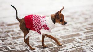 Собака породы Русский той-терьер фото 7