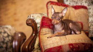 Собака породы Русский той-терьер фото 6