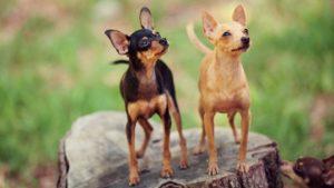 Собака породы Русский той-терьер фото 4