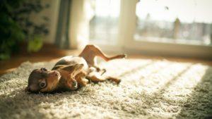 Собака породы Русский той-терьер фото 8