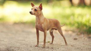 Собака породы Русский той-терьер фото 9