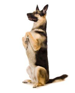 Собака породы Восточно-европейская овчарка фото 8