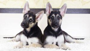 Собака породы Восточно-европейская овчарка фото 7