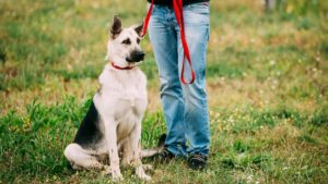 Собака породы Восточно-европейская овчарка фото 4