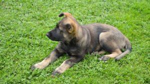 Собака породы Восточно-европейская овчарка фото 9