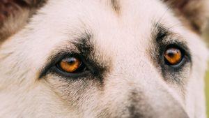 Собака породы Восточно-европейская овчарка фото 1