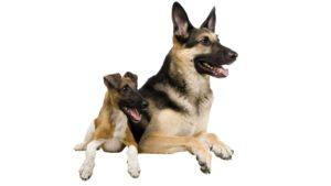 Собака породы Восточно-европейская овчарка фото 5