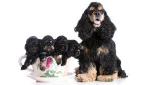 Собака породы Американский кокер-спаниель фото 5