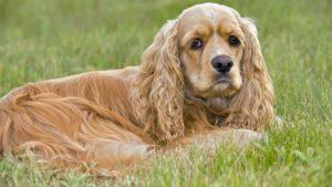 Собака породы Американский кокер-спаниель фото 7