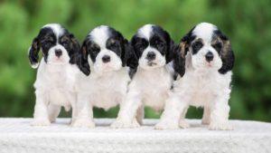 Собака породы Американский кокер-спаниель фото 2
