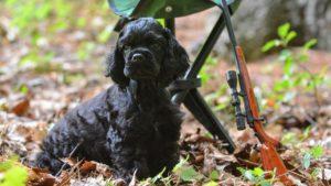 Собака породы Американский кокер-спаниель фото 6